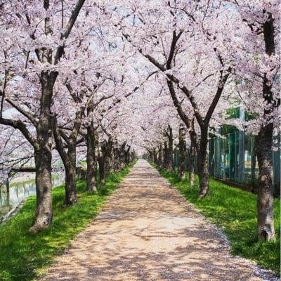大島堤と桜並木